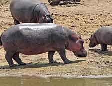 Bwabwata National Park, image of hippo family