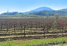 Picture of a Napa Valley vineyard
