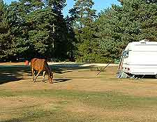 Further image of New Forest wild ponies