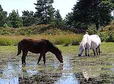 Photograph showing some of the New Forest Ponies