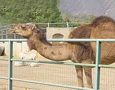 Image of dromedary camel at the National Children's Park and Zoo
