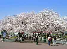 Picture of springtime cherry blossom at Expoland