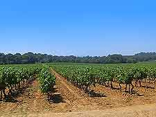 Picture showing local vineyard