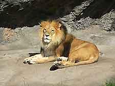 Image of lion at Nairobi Zoo