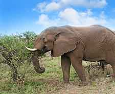 Picture of wild elephant in Swaziland