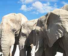 Picture of African elephants at the Hlane Royal National Park in Swaziland