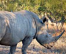 Further picture of rhino at the Mkhaya Game Reserve