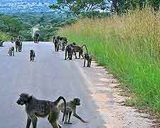 Image of monkeys on the road