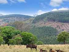 Photo of wild wildebeests