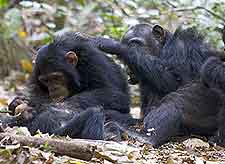 Image of chimpanzees at the Gombe Stream National Park