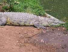 Image of crocodile living at the Meserani Snake Park