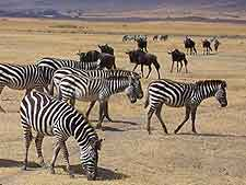 Picture of zebras, taken at the Ngorongoro Crater