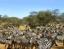 Photo of zebras in the Serengeti National Park, Tanzania, Africa