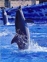 Photo of dolphin at Tenerife's Aqualand Costa Adeje Dolphinarium