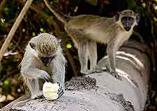Picture of monkeys at the Abuko Nature Reserve