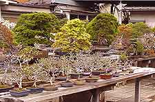 Picture of Southampton's Bonsai Nursery