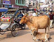 Photo of Indian cows resting on a street in the city centre
