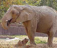 Picture of elephant at Ben Aknoun Zoo
