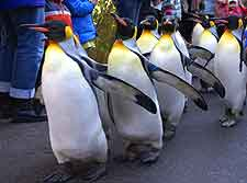 Picture of the penguin parade at the city's Zoological Gardens